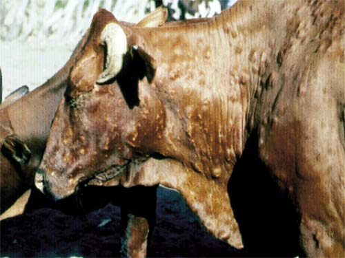 أخطر أمراض الأبقار