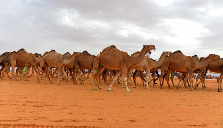 الإبل معجزة الصحراء العربية