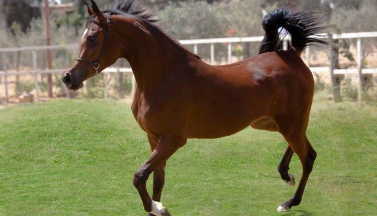 خمسة اشياء تحدد قيمة وثمن الحصان الذي تنوي شراؤه