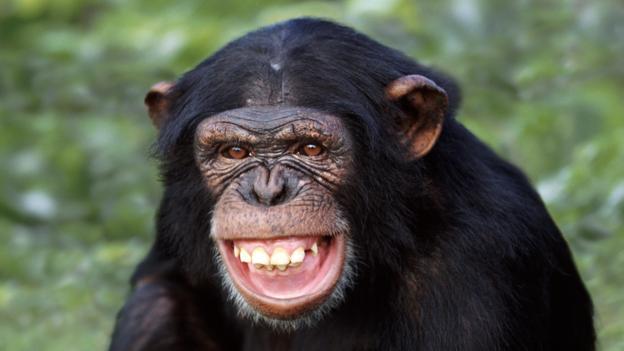 الشمبانزى الذى ضحك