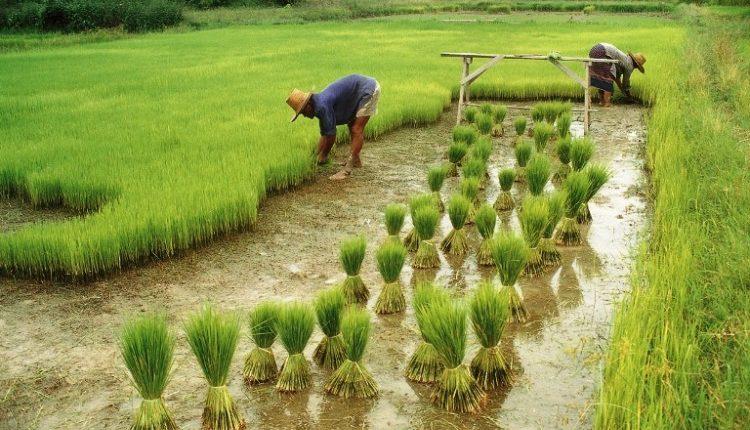 تجربة المارد الصينى فى الزراعة والانتاج الحيوانى