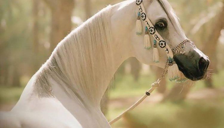 المغص فى الخيول وصايا للوقاية وطرق العلاج