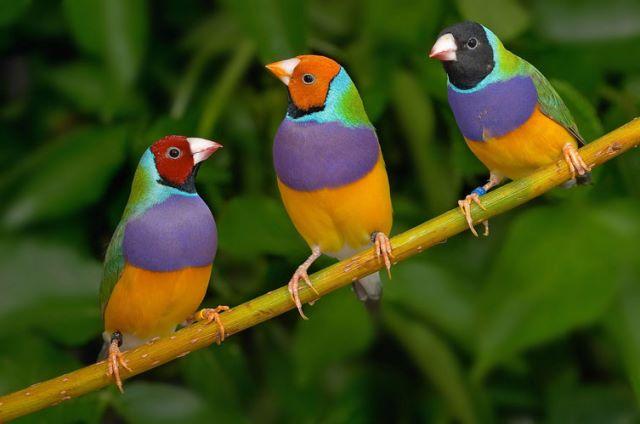 من طيور الزينة الاكثر جمالا والاحب الى نفوس الصغار والكبار