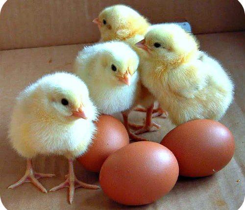 نظم تربية سلالات انتاج البيض