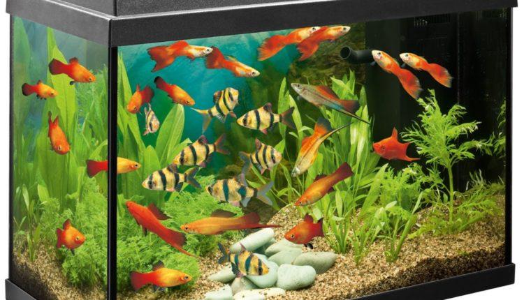 كيف تجهز حوض أسماك الزينة بالمنزل؟