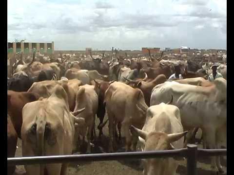 هل تصبح اللحوم الاثيوبية بديل البلدية؟