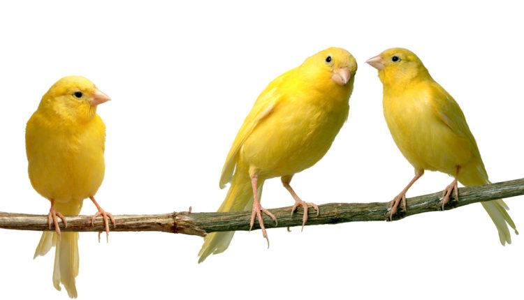 الطيور ملحنون و موسيقيون