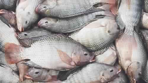 أساليب وطرق التغذية الصناعية للأسماك