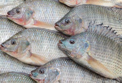 أسماك البلطى.. كنز مصرى يحتاج إلى اهتمام ورعاية