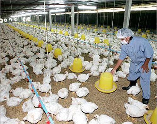 إرشادات التطهير والاستقبال فى دورات تربية الدجاج