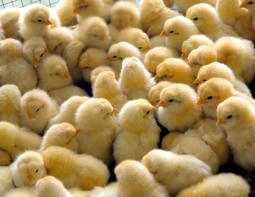إجراءات يجب اتباعها عند تقديم الغذاء لكتاكيت دجاج إنتاج البيض