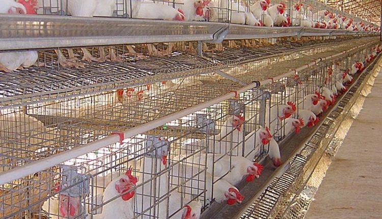 أسس التغذية فى الدجاج البياض