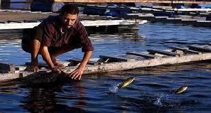 أسباب وحلول زيادة نسبة الامونيا فى مياة المزارع السمكية