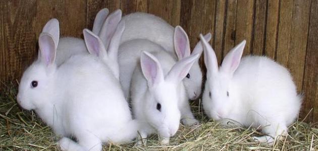 التخطيط لانشاء مزرعة ارانب والاحتياجات الخاصة المزرعة