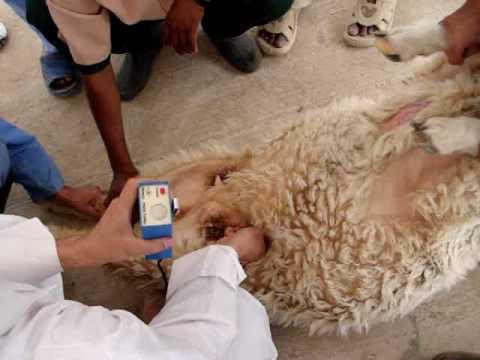 تشخيص الحمل المبكر فى الحيوانات وفوائده