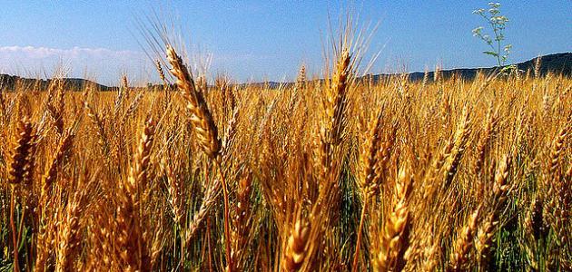 انقاذ مصر من الجوع والفقر يكون بزراعة القمح وتربية البقر (فى رؤيا عزيز مصر )