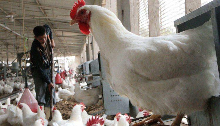 اهمية برامج التحصين لامهات دجاج اللحم