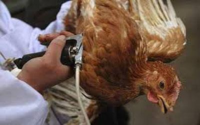 لقاحات انفلونزا الطيور