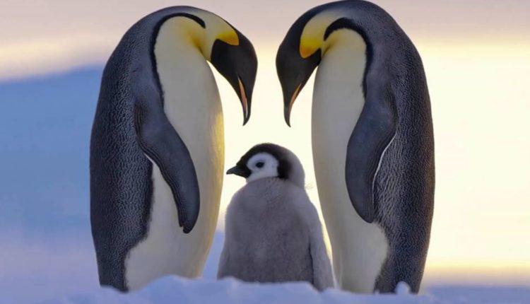 درس من البطريق فى المشاركة فى تربية الابناء والتضحية من الاباء