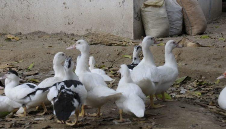 كيف يمكن تحسين إنتاج البط فى مصر؟