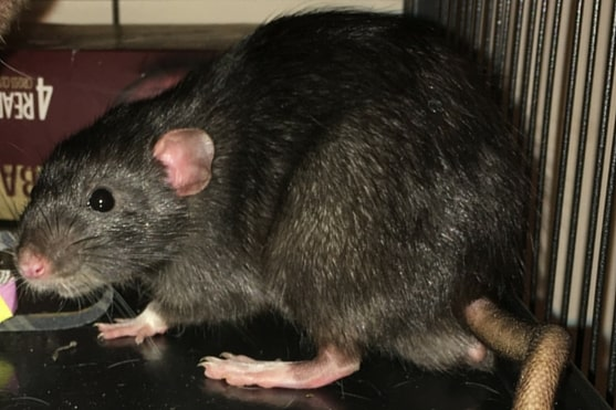 الفئران أنواعها أوصافها لماذا الحرب عليها