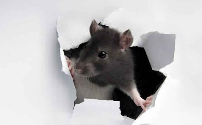 الطرق الوقائية والعلاجية لمكافحة الفئران