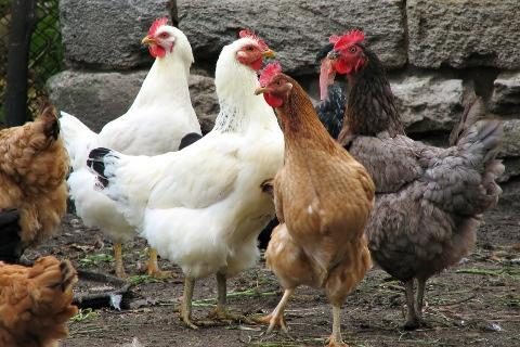 الاحتياجات الغذائية من الطاقة والاحماض الامينية فى مراحل عمر الطائر