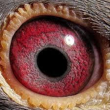 عيون الحمام الزاجل