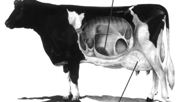 خطوات الحلب السليمة للابقار