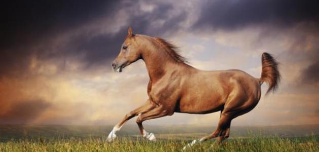 الخيل زينة ما اوجه الجمال فى جسم الحصان ؟؟