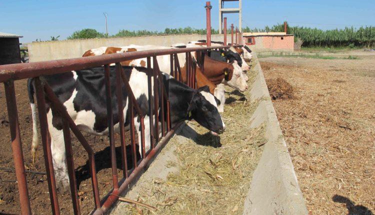 الخميره ومضادات الاعلاف اهم اضافات الاعلاف في مزارع عجول التسمين