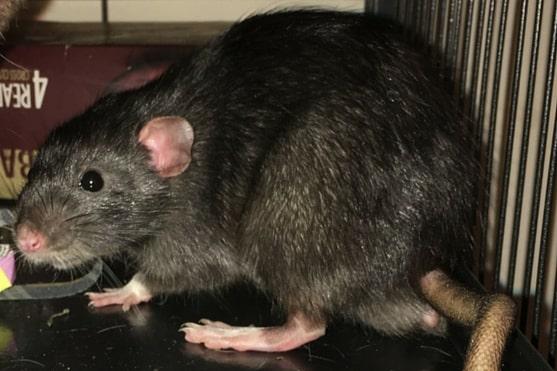 اهم المبيدات الكيميائية للفئران
