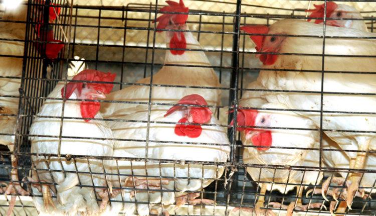 اهميه برامج التحصين لأمهات دجاج اللحم