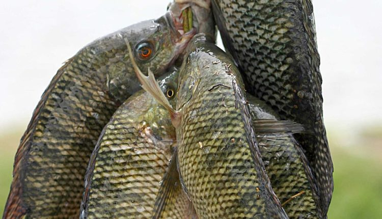 اسس الاستزراع في تربيه الاسماك البلطي
