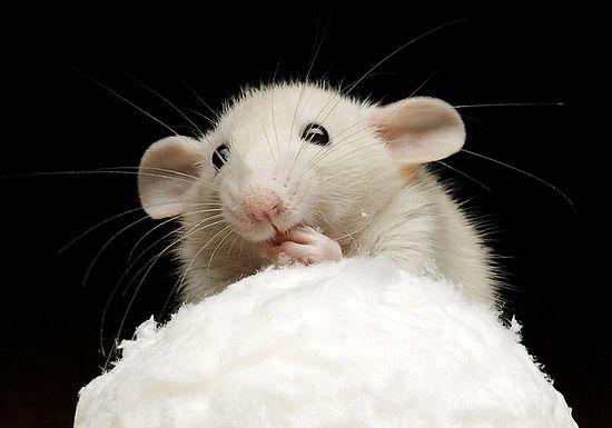 مقاومة الفئران