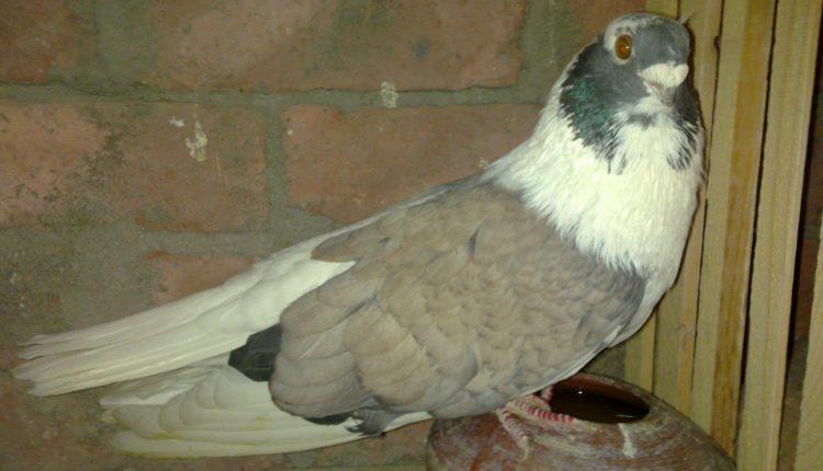 اجراءات التحكم ومنع عدوي الميكوبلازما في الطيور
