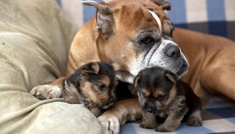 التناسل في الكلاب وكيف نرعي الام وصغارها بعد الولاده