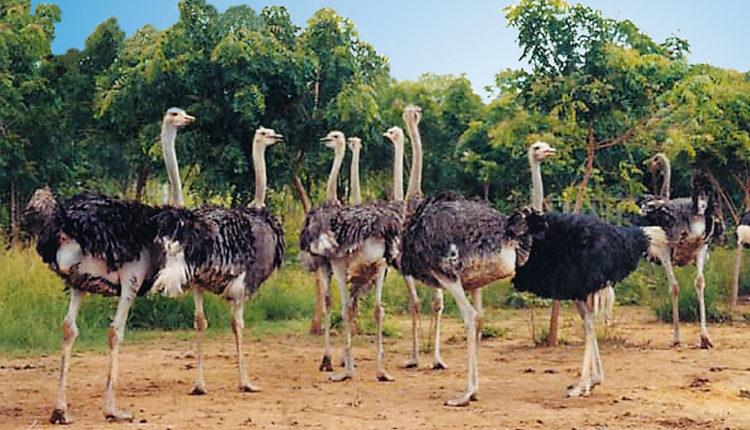 طيور النعام ومنتجاتها