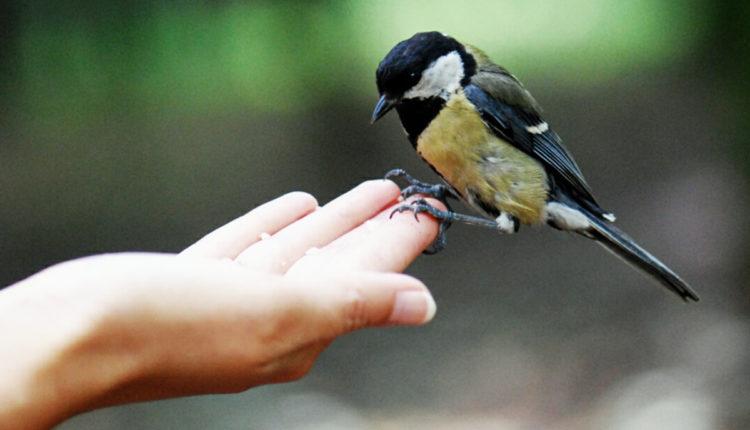 مجموعه الامراض التي تصيب طيور الزينه وطرق علاجها