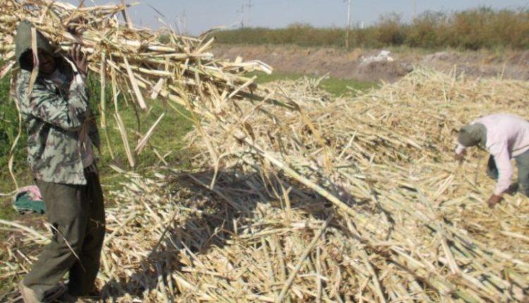 أفضل طرق الاستفاده من سيلاج زعازيع القصب