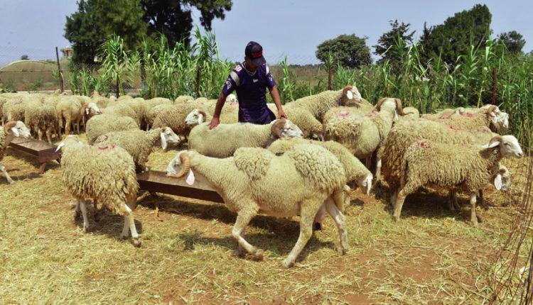 اسباب الالتهاب الرئوي في الماشية وطرق الوقايه والعلاج