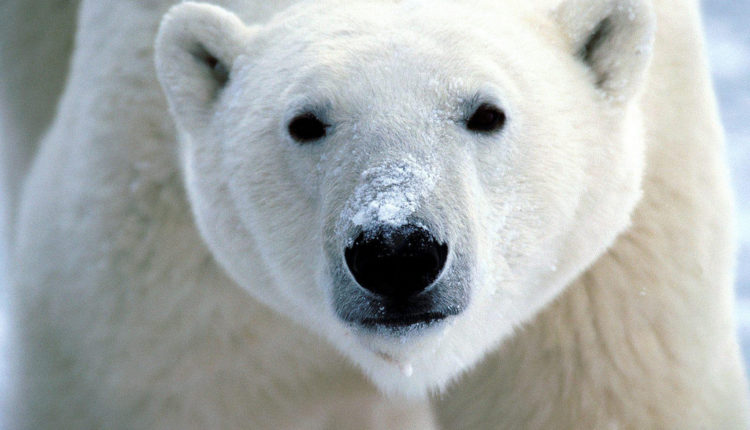 معجزه انثي الدب الابيض