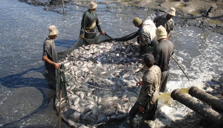 اساليب وطرق التغذية الصناعيه للاسماك