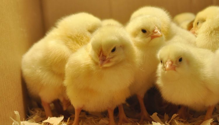 اجراءات يجب اتباعها عند تقديم الغذاء لكتاكيت الدجاج البياض