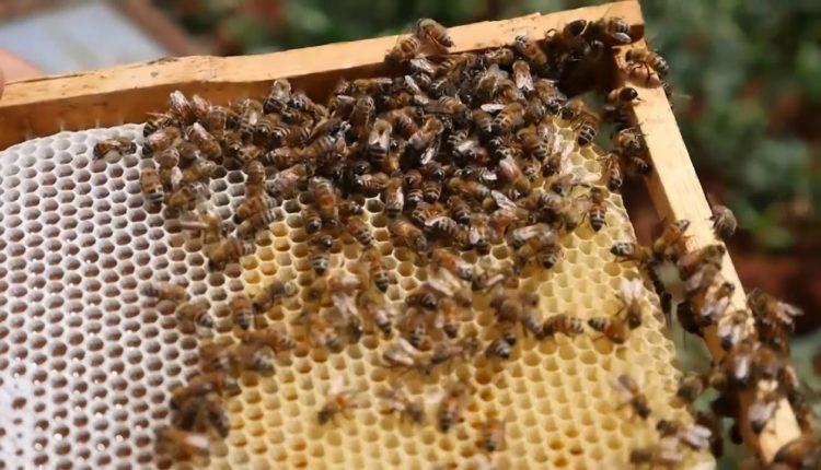 دراسة الجدوي الاقتصاديه لتربية نحل العسل