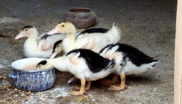 الطرق المثلي لتغذيه وتربية البط في القريه