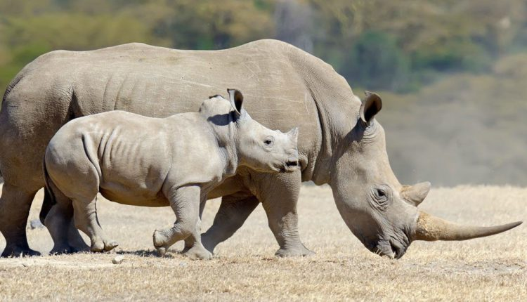 وحيد القرن …………………..الخرتيت