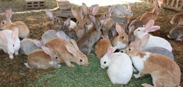 مميزات تربية الأرانب