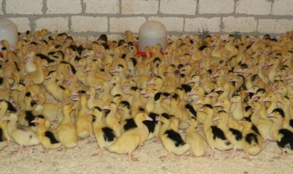 برنامج تفريخ بيض البط