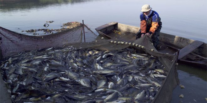 مشكلات الإنتاج السمكى
